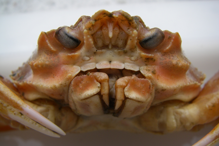 Photo of a snow crab.