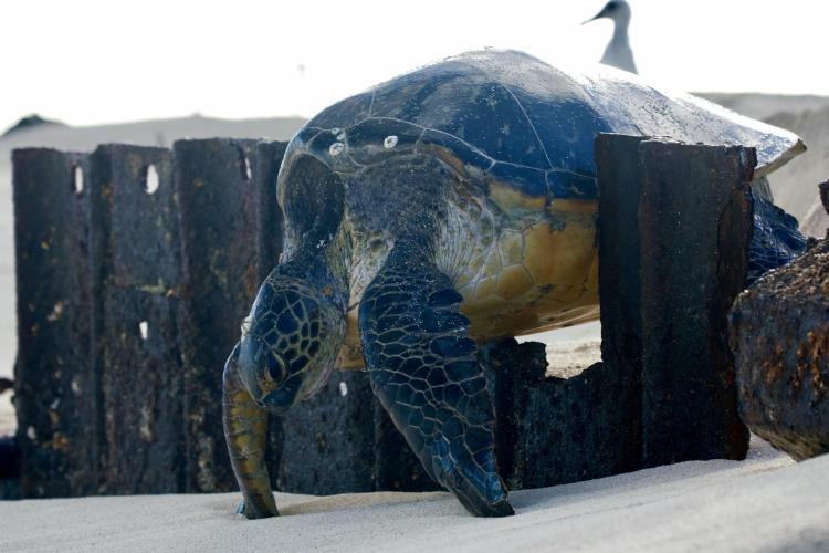 Entrapped sea turtle
