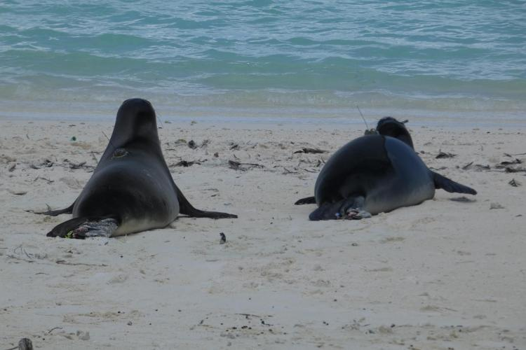 Photo of monk seals returning to sea with transponders glued to their backs.