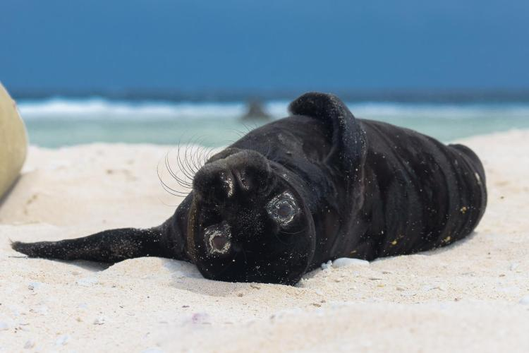 Hawaiian monk seal pup laying upside down on beach on Laysan Island.