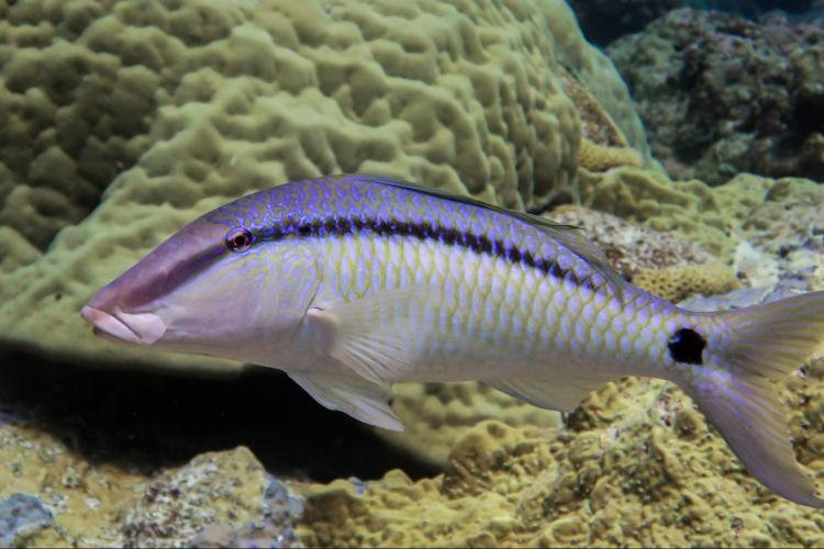 Picture of a dash-and-dot goatfish