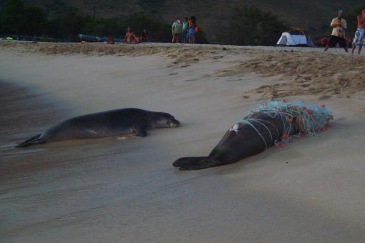 A dead adult male monk seal that is wrapped up and had drowned in a gillnet is attended by another live seal on the beach.