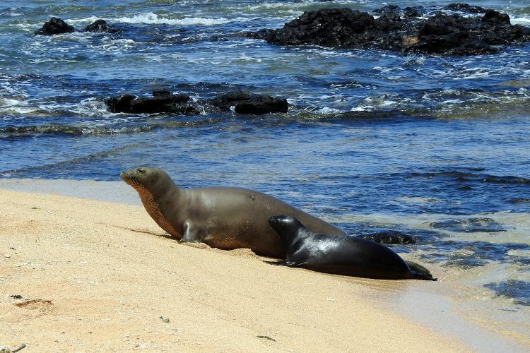 Adult female monk seal number R)28 and her pup on the beach