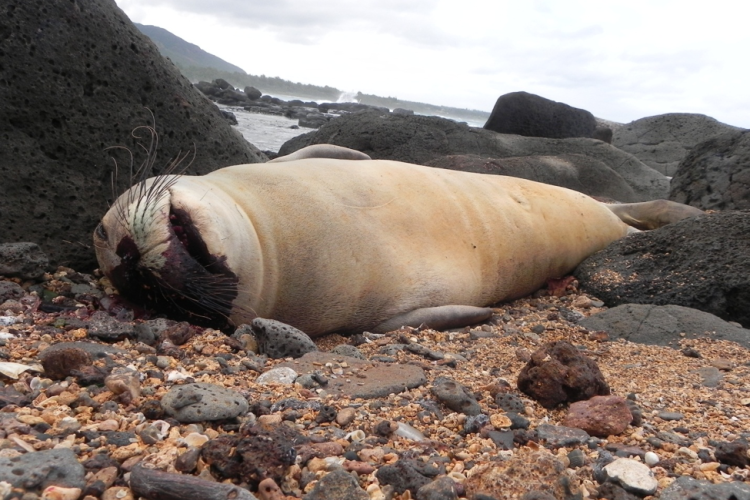 A dead juvenile monk seal laying between rocks on the beach