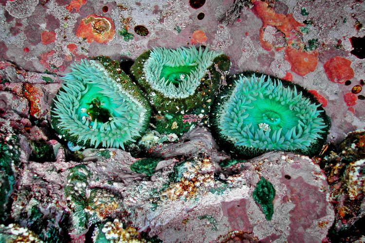 Photo of a giant green sea anemone (Urticina Xanthogrammica) in a tidal zone.