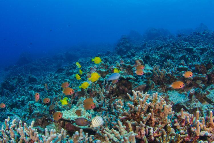 Coral in the main Hawaiian Islands.