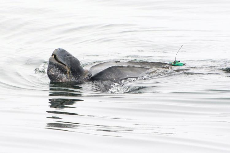 Leatherback turtle at sea carrying a satellite tag