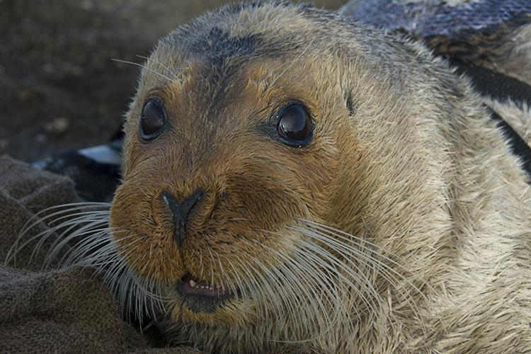 Young bearded seal with long white whiskers. NOAA/Michael Cameron