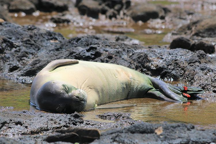 Monk seal resting on its side in shallow water (tide pool) in between the rocks.