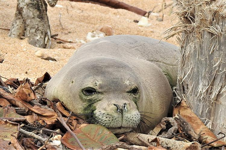 Hawaiian monk seal resting on a beach surrounded by brown leaves.