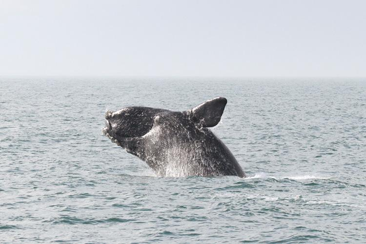 A right whale breaches