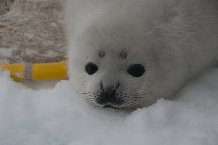Close up photo of a ribbon seal pup on an ice floe.
