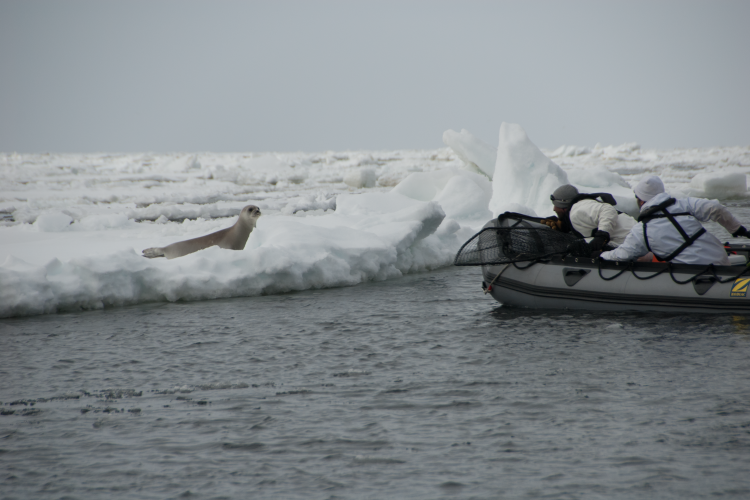 Photo of scientist in a small boat approaching a ribbon seal on an ice floe.