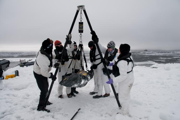 Photo of scientists weighing a seal on an ice floe.
