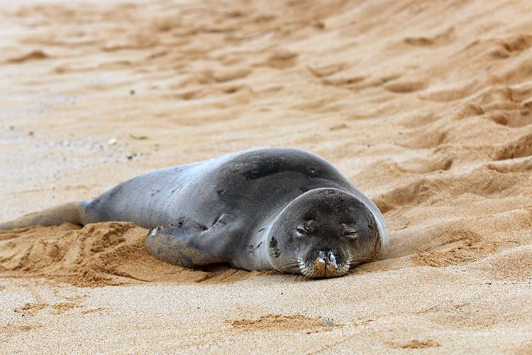 Hawaiian monk seal resting on the beach on his belly.