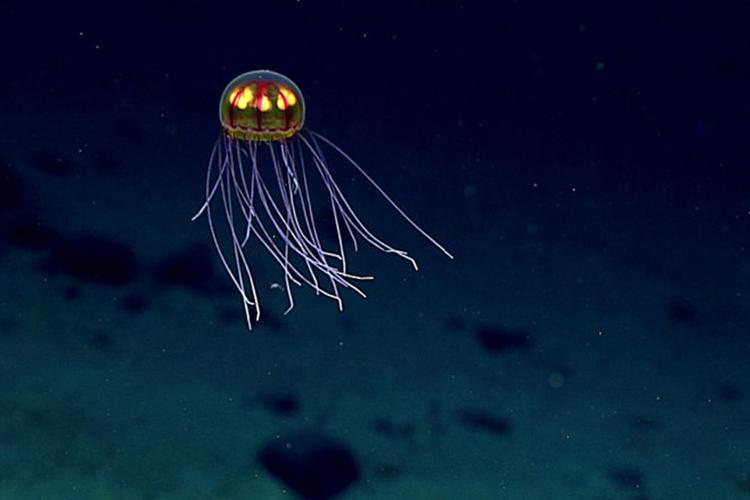 Jellyfish exploring the Enigma Seamount at 3,700 meters sea deep.