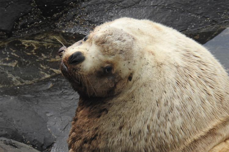 Close up head photo of an adult male Steller sea lion.