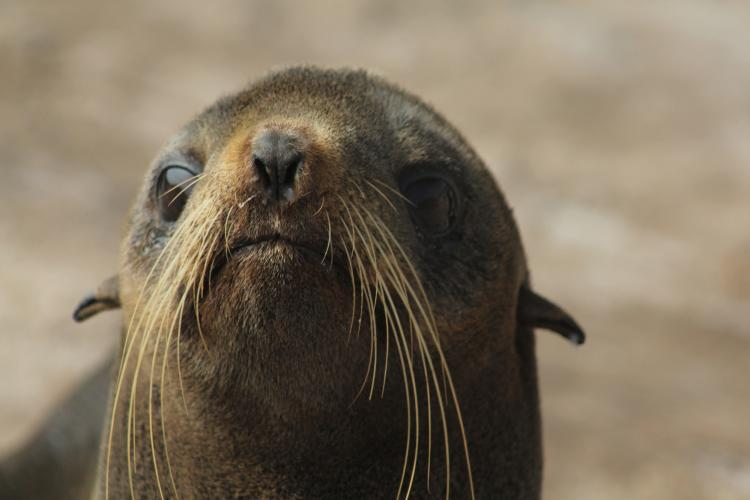 Photo of a female northern fur seal's face and whiskers.