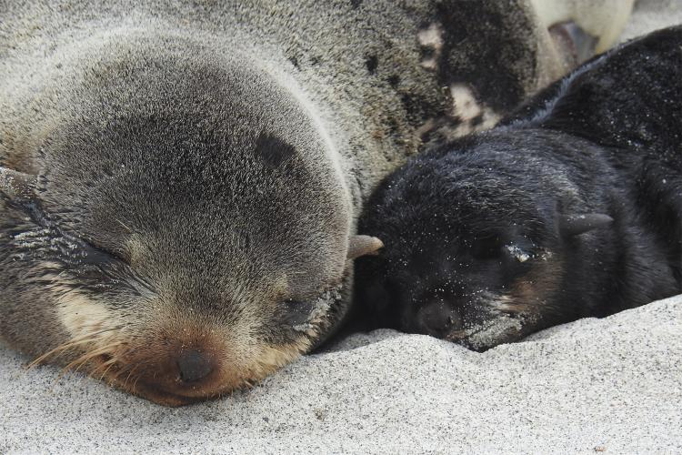 Photo of a northern fur seal mother and pup sleeping on sand.