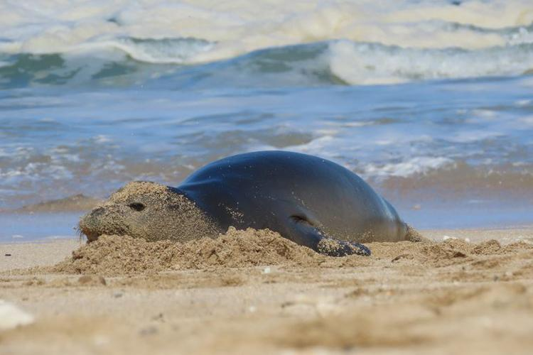 Hawaiian monk seal face covered in sand, resting on the shoreline.