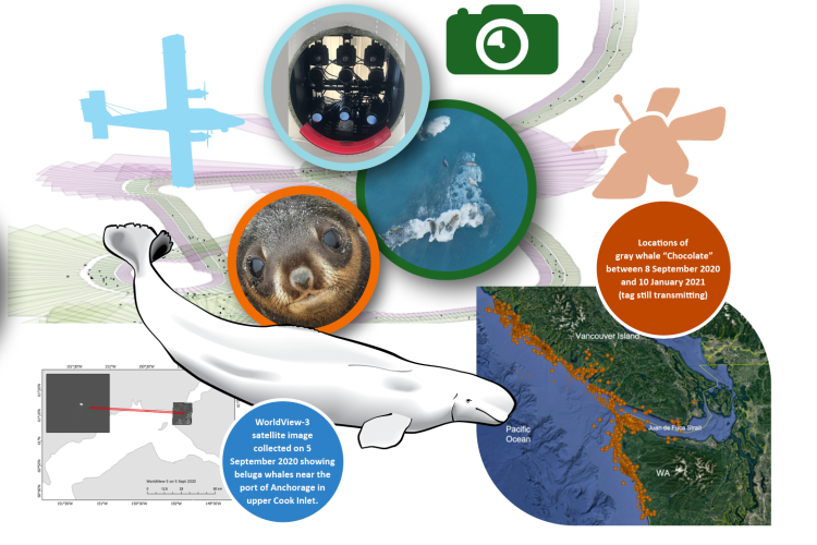 Collage of species and research activity images conducted by the Alaska Fisheries Science Center's Marine Mammal Laboratory.