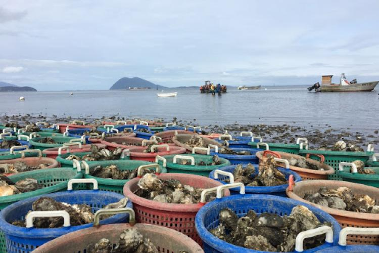 Harvest at Taylor Shellfish Farms