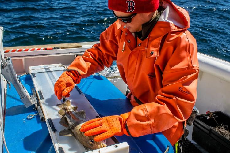 A NOAA Fisheries staff member measures an Atlantic cod during the spring 2016 longline survey