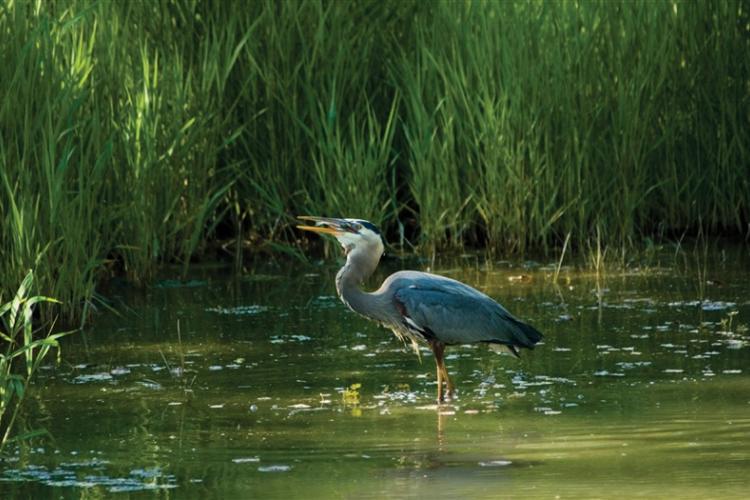 Great blue heron eating fish in salt marsh.