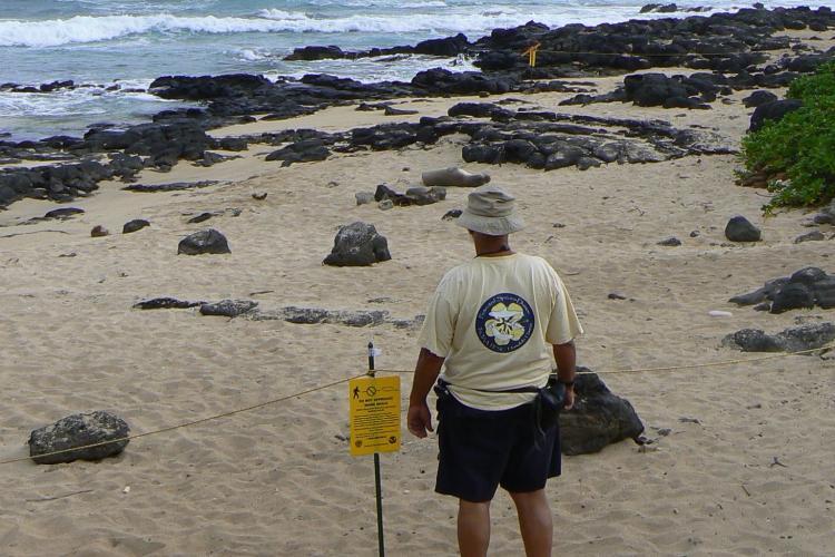 Volunteer seal reporter DB Dunlap watches a Hawaiian monk seal on the beach