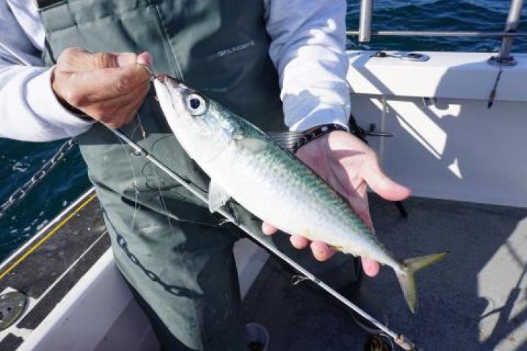 Close-up of a recreational angler holding an Atlantic chub mackerel. Credit Jim Hutchinson, Jr.
