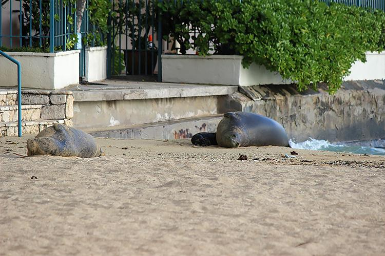 Two adult monk seals and one newborn pup resting on a shoreline on Oahu.