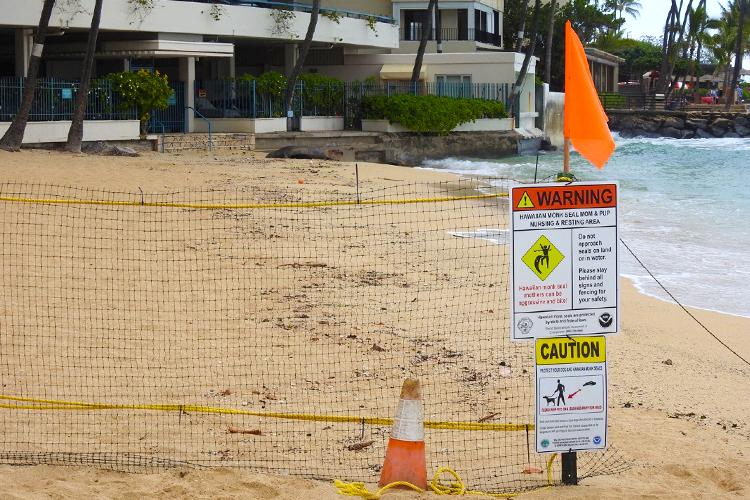 Monk seal mom and pup nursing and resting area with signs and installed fence.