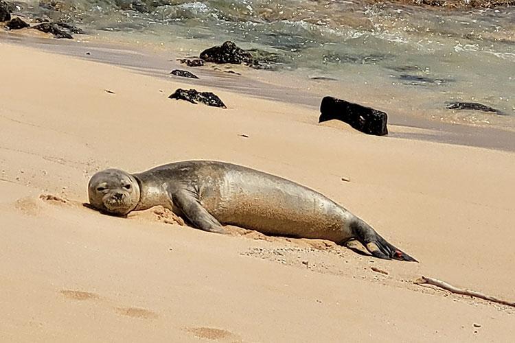 Hawaiian monk seal on the beach in the sun.