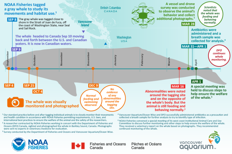 Infographic showing tagging timeline for a gray whale.
