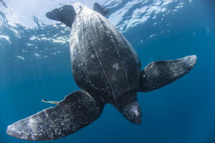 Leatherback turtle underwater