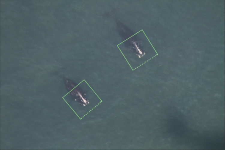 Whale photos tagged for AI detections
