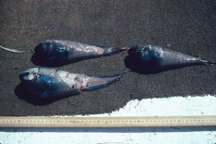 new snailfish species