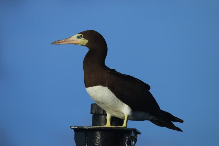 A female Brewster's Brown Booby perched on the ship's jackstaff.