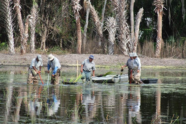 Four people standing knee-deep in water planting wetland grasses