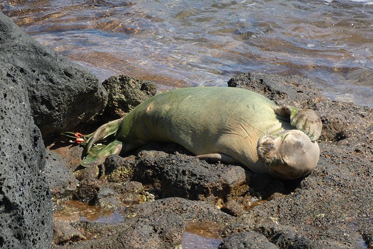 Hawaiian monk seal resting on its back on the rocks.