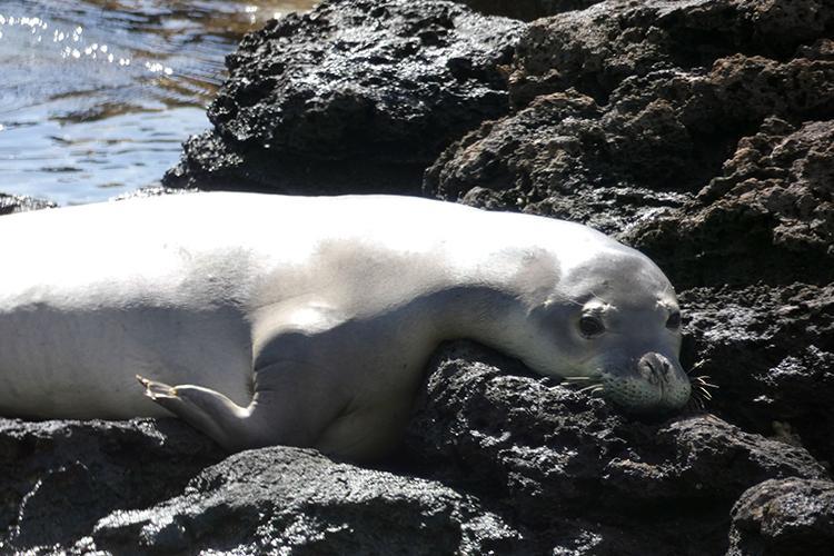 Hawaiian monk seal resting on the beach rocks in the sun.