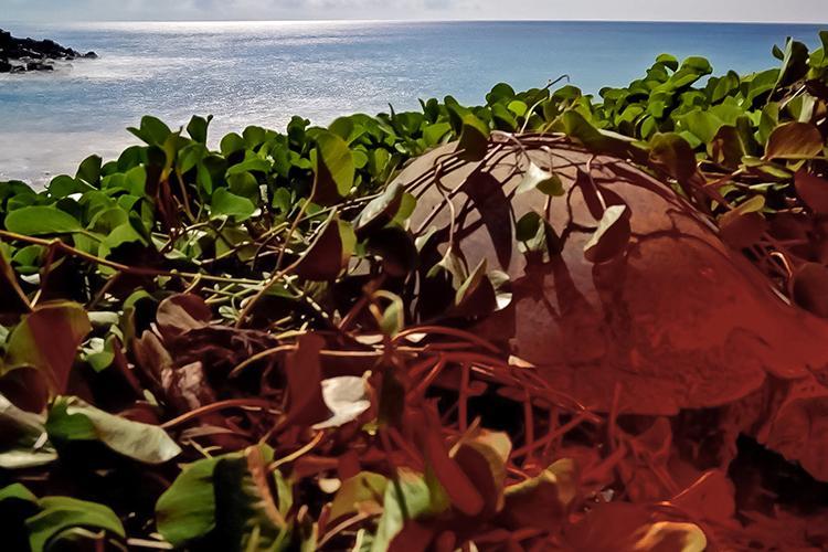 A sea turtle laying eggs in beach foliage.