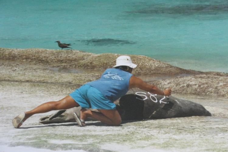 Photo of Lisa Hiruki-Raring marking a Hawaiian monk seal on the beach.