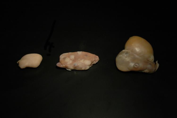 Ovaries are examined to study reproduction in dolphins. Sexually immature dolphins have smooth ovaries (left) while those of mature dolphins have visible scars of ovulation (middle) or occasionally a corpus luteum, which is a large gland that secretes hormones during pregnancy (right).
