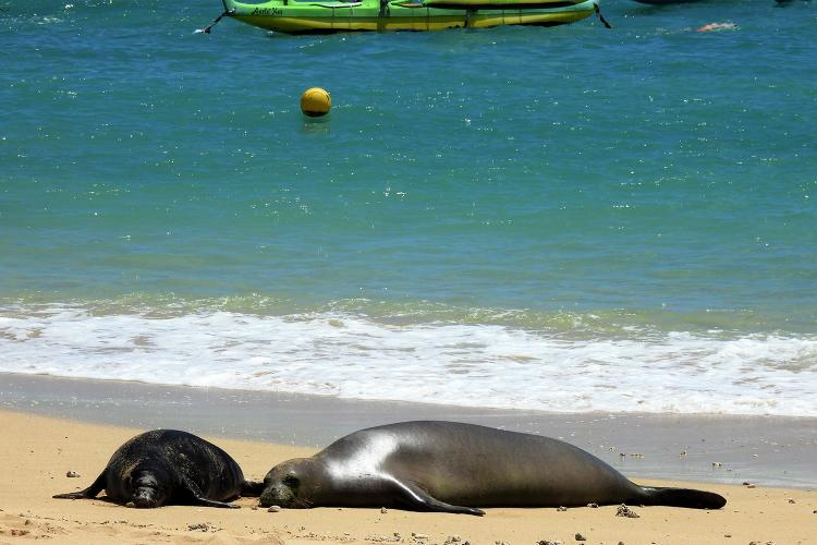 Monk seal pup on the left and mother seal on the right resting on the beach.