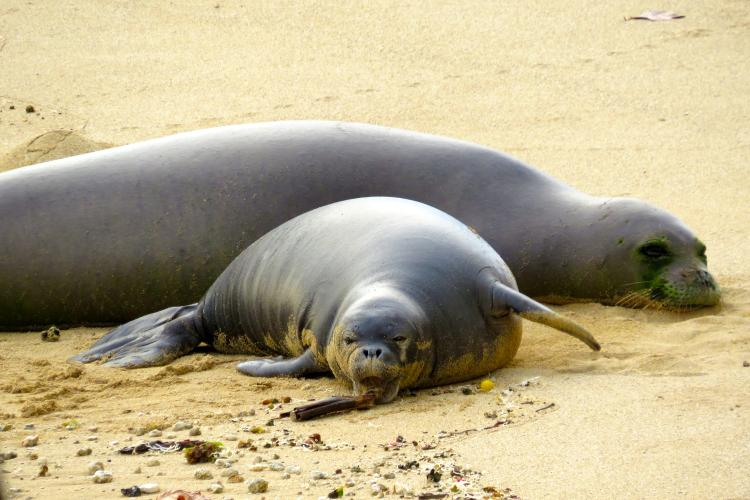 Monk seal pup playing with a stick on the beach in his mouth with mom behind him.