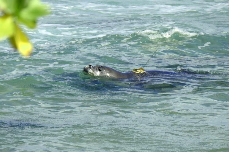 Hawaiian monk seal pup swimming with GPS transmitter on its back.