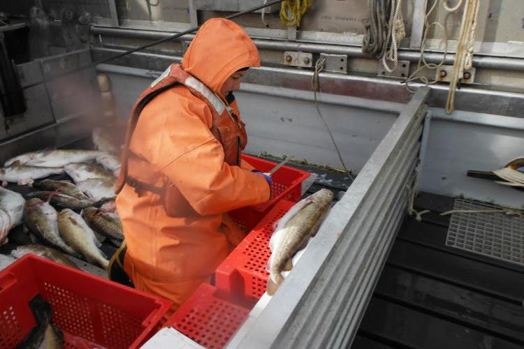 Photo of a scientist measuring Pacific cod on a boat deck.