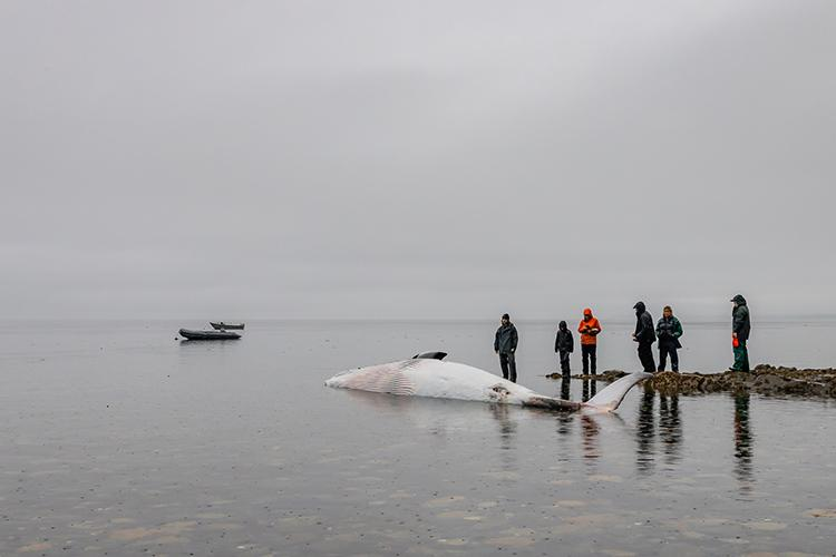 The whale carcass was towed to Pleasant Island for the necropsy. © 2021 Sean Neilson