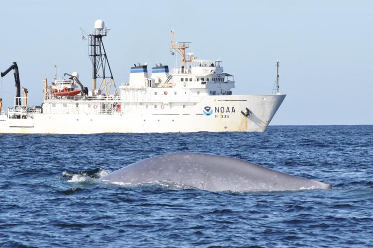 NOAA Ship Gordon Gunter with blue whale surfacing in front.